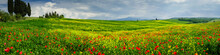 Poppies Is A Field In Tuscany, Italy