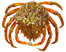 Spider Crab On White Surface