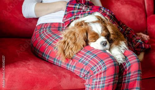 Canvas-taulu Adorable dog – Cavalier King Charles Spaniel – sleeping on woman's lap