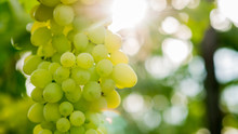 The Sun Illuminates A Bunch Of Green Grapes On The Vine