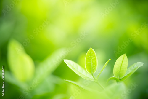 Fototapeta Closeup nature view of green leaf on blurred greenery background in garden with copy space using as background natural green plants landscape, ecology, fresh wallpaper concept. obraz na płótnie