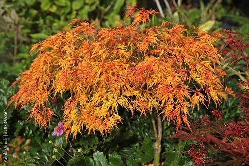 Acer palmatum dissectum en automne Canvas Print