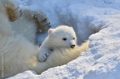 Deurstickers Ijsbeer polar bear in snow