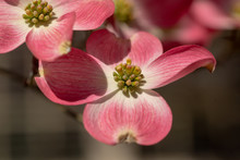Beautiful Pink Dogwood Tree In Bloom On A Blue Sky Spring Day