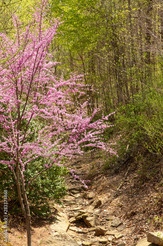 Redbud tree blooming in the spring season