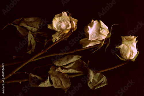 Wilted white roses on a dark background close up in retro style Canvas Print