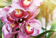 Closeup Of Blooming Pink Cymbidium Orchid Flowers