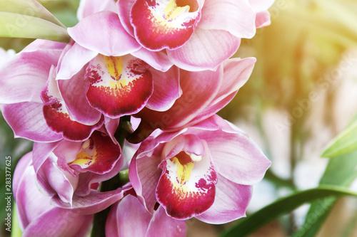 Foto auf Gartenposter Orchideen Closeup of Blooming Pink Cymbidium Orchid Flowers
