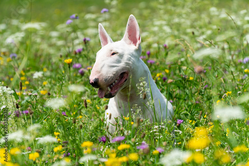 Portrait photo of white bull terrier outdoors on a sunny day Tableau sur Toile