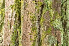 Texture Of Pine Tree Bark With Green Moss. Natural Background