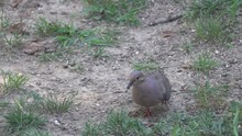A Mourning Dove Eating Wild Se...