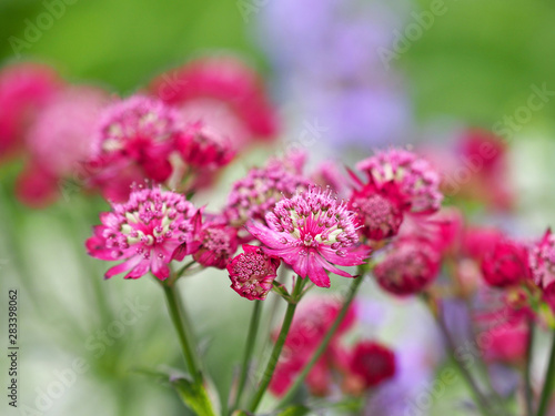 Pink flowers of astrantia major, masterwort, Apiaceae Canvas Print