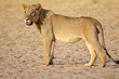 canvas print picture Young male African lion (Panthera leo), Kalahari desert, South Africa.