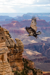 Obraz na Szkle Góry Bald Eagle (haliaeetus leucocephalus) Juvenile in Flight Over the Grand Canyon...Some Native Peoples Believe the Eagle can Take Your Dreams to Heaven