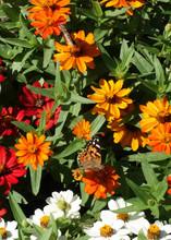 Two American Lady Butterflies Feed On Flowers In A Garden In Maryland