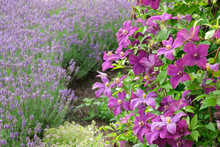 Beautiful Clematis Flowers In Foreground And Lavender On Background Not In Focus.