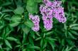 Leinwanddruck Bild Lilac blossom in spring scene. Spring blooming lilac flowers. Lilac flowers