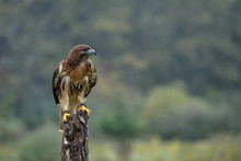 Red-Tailed Hawk Sitting On A Tree Stump In A Field. Body Of Hawk Is Facing The Camera While The Hawk Is Looking To The Right.