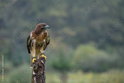 Photo Red-Tailed Hawk sitting on a tree stump in a field