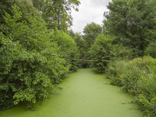 Pond Overgrown With Duckweed With Trees