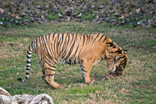 This Is A Side View Of A Tiger...