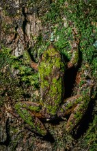 Northern Cricket Frog (Acris Crepitans) On Moss-covered Tree Trunk, Showing High Level Of Camouflage Due To Skin Color And Pattern.