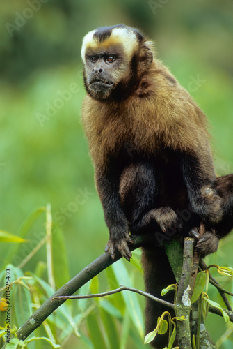 Valokuva  Brown capuchin monkey (Cebus apella); part of troop that shows up regularly at Cock-of-the-Rock Lodge in Amazonian cloud forest of Peru