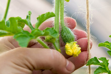Female Hand Holds A Small Ovary Of Watermelon With A Flower In A Greenhouse