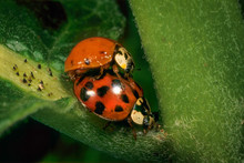 Asian Ladybird Beetles (Harmonica Axyridis) Mating On Common Milkweed Plant. Female Will Lay Her Eggs On Underside Of Leaf An Ample Supply Of Aphids For The Larvae To Feed On When They Hatch.