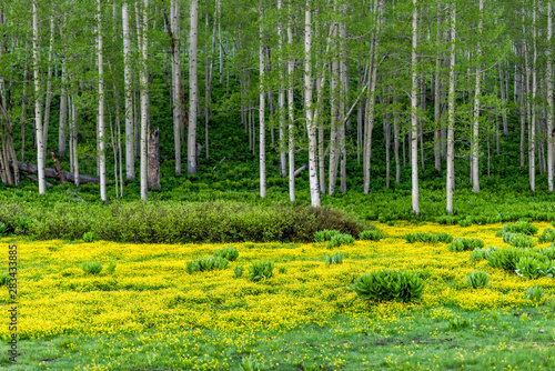 Crested Butte, Colorado Snodgrass trail in summer in Rocky Mountains with field meadow of buttercup yellow flowers