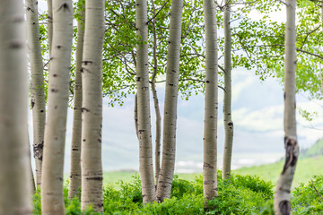 Fototapeta Brzoza Snodgrass trail forest edge in Mount Crested Butte, Colorado in National Forest park mountains with closeup green aspen trees in summer