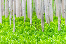 Aspen Forest Trees Pattern In Summer With Yellow Lady's Slipper Plants In Snodgrass Trail In Mount Crested Butte, Colorado In National Forest Park