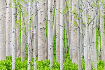 Panel Szklany Podświetlane Eko Aspen forest trees pattern in summer in Snodgrass trail in Mount Crested Butte, Colorado in National Forest park mountains with green color