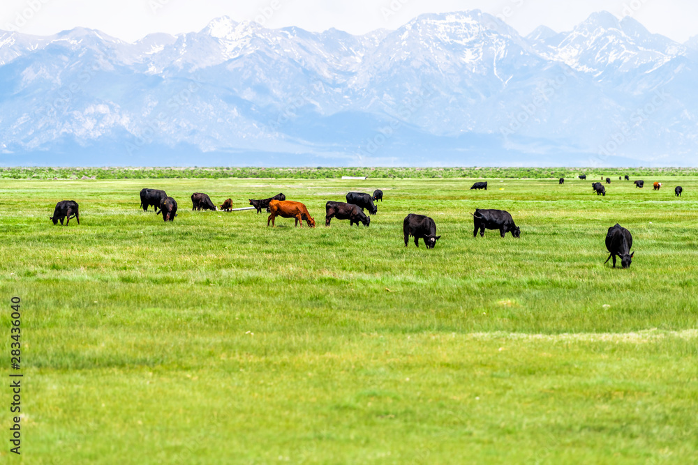 Fototapeta Southwest Colorado Highway 285 with rural countryside farm pasture and cows near Center and Monte Vista and view of Rocky Mountains