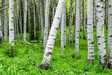 Aspen Forest Vivid Green Trees Leaning In Summer On Kebler Pass In Colorado In National Forest Park Mountains