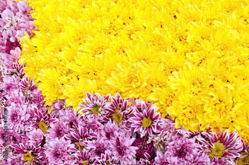 Fototapety, obrazy: art beautiful bright multicolored floral background of yellow and purple blooming flowers of chrysanthemums for festive decoration
