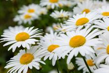 Flower Background Of Chamomile...