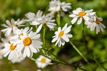 Flower Background Of Chamomiles, Daisies, Pyrethrum