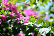 Gorgeous Bougainvillea Bloomin...