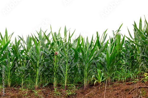 Canvas maize field isolated on white background