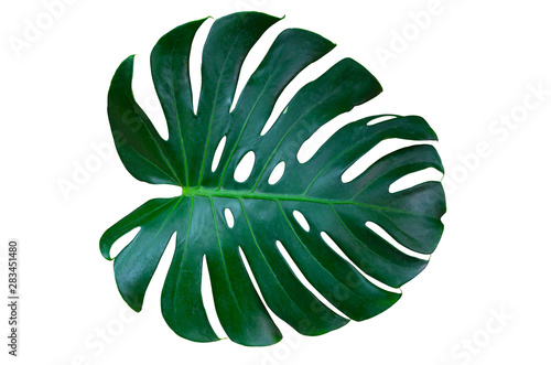 Fototapeta Monstera leaves lush decorating for composition design style exotic. Tropical palm philodendron leaf isolated white background and branch greenery, botanical nature concepts.(clipping path) obraz na płótnie