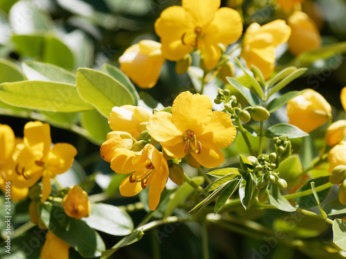 Fotografia Rameaux et fleurs jaune doré de séné d'alexandrie   Senna alexandrina