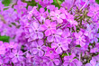 canvas print picture - Light violet perennial phlox paniculata fragrant flowers in garden, macro