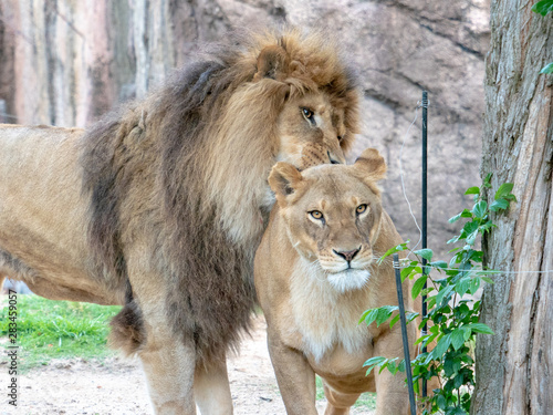Fototapety, obrazy: Lions at the zoo on holiday