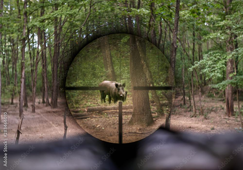 Fototapety, obrazy: Wild hog seen through rifle scope