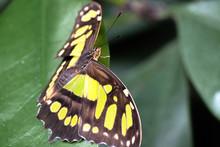 Malachite Butterfly (Malachitfalter, Malachit, Siproeta Stelenes, Metamorpha Stelenes)