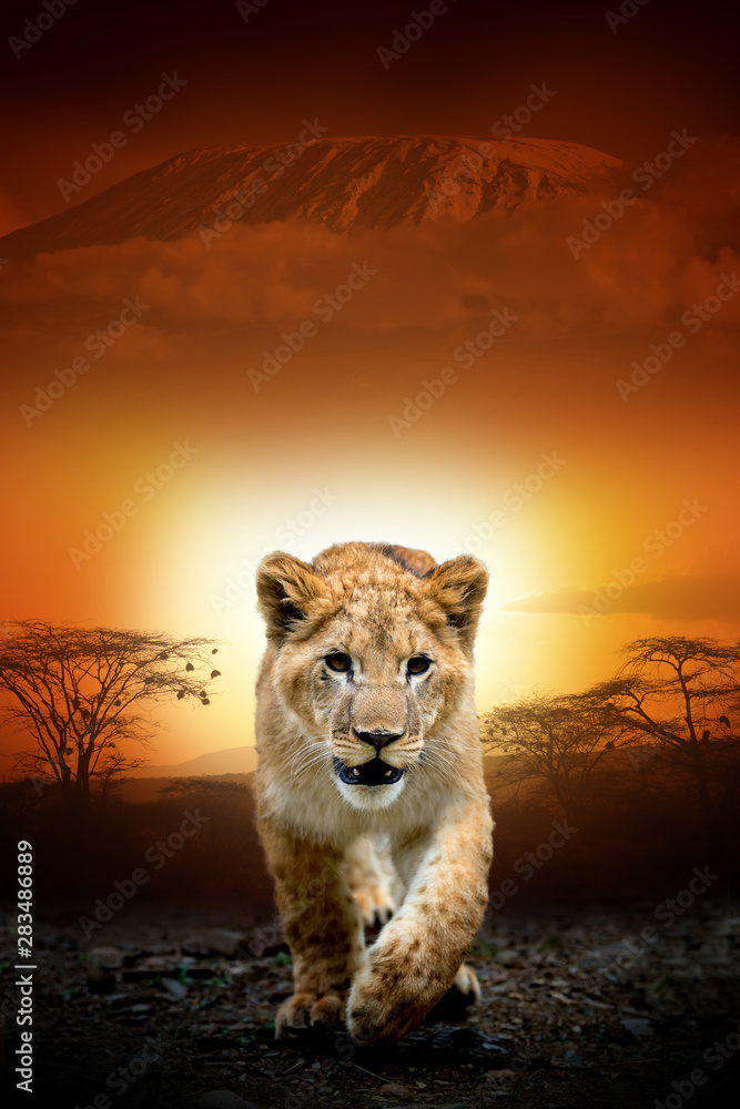 Fototapeta Lion cub on savanna landscape background and Mount Kilimanjaro at sunset