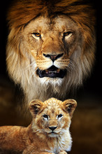 Male Lion And Cub Portrait On ...