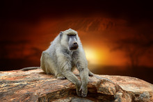 Monkey On Savanna Landscape Background And Mount Kilimanjaro At Sunset