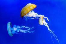 Jellyfish On Blue Background. ...